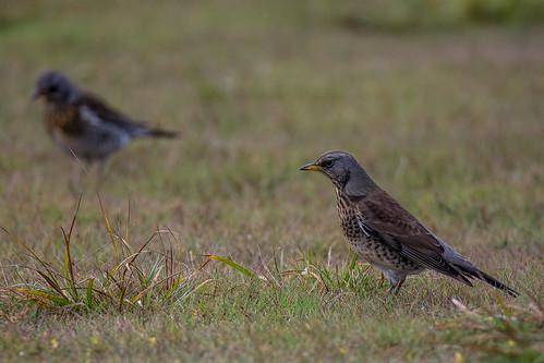Field fare - Turdus pilaris - Kramsvogel