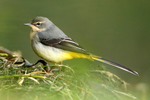Grey Wagtail, Canon EOS 6D, EF600mm f/4L IS USM