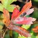 Autumn Leaf Fly!