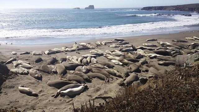 Elephant seals: San Simenon