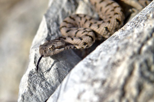 Vipère aspic... Aspic viper... #darktable #Digikam #NikonD7000