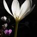 Colchicum speciosum 'Album'