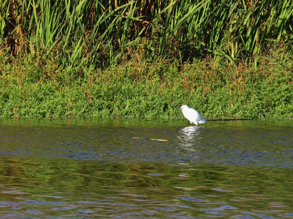 Snowy egret at Tule Lake National Wildlife Refuge