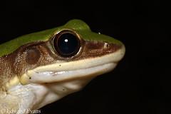 Copper-cheeked frog (Odorrana chloronota)