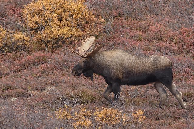 Bull in Denali