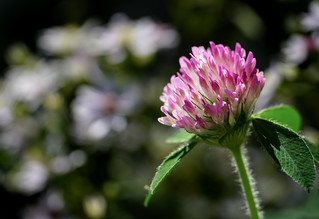 last of the red clover