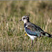Lapwing showing its colours