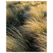 Drigg - marram dune grass by DavidO'Brien