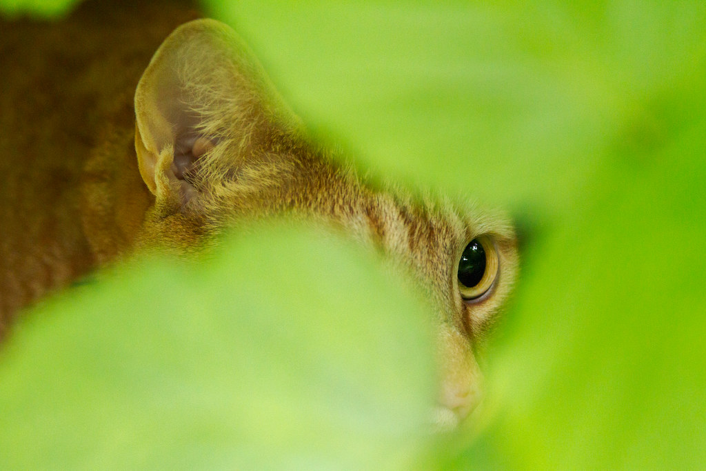 Our cat Sam hides in the raspberries in our garden in Portland, Oregon