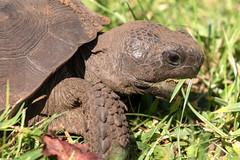 Tortoise Eating at Sawgrass Lake Park