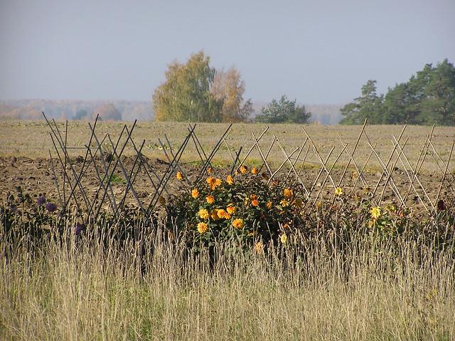 Dahlia Border on the field