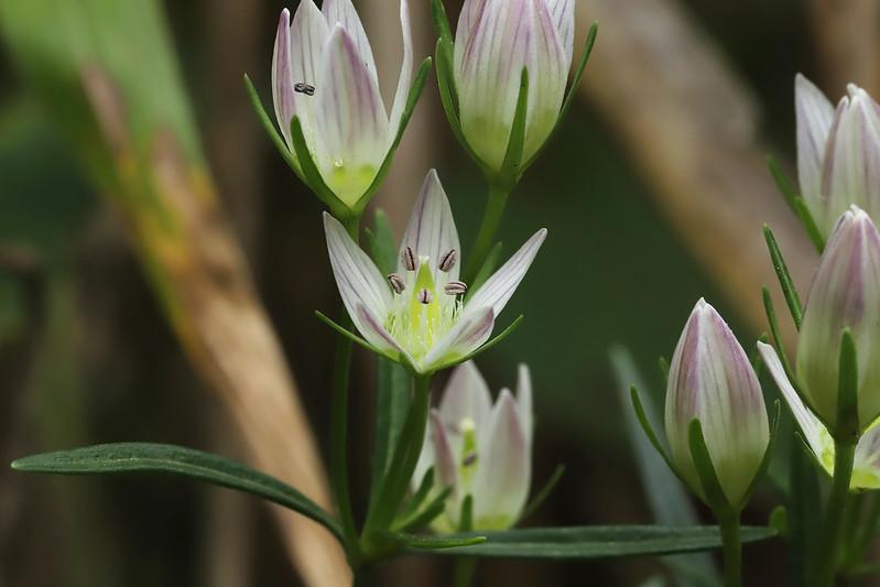 Swertia japonica (Schult.) Makino  センブリ
