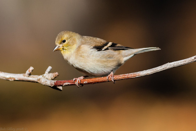 Goldfinch, Canon EOS-1D MARK II N, Canon EF 400mm f/5.6L