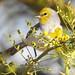 Verdin on a Palo Verde Tree Sipping Nectar