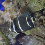 Gray Angelfish Newport Aquarium