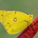 An orange sulphur butterfly on a fall colored leaf. by Bradley Hamel