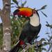 Toco Toucan (Ramphastos toco) Pantanal, Mato Grosso, Brazil 2017 by Ricardo Bitran