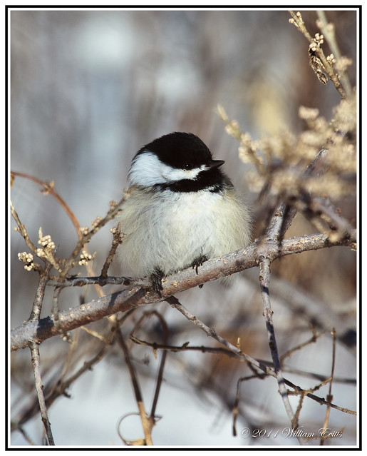 The Tiny Blackcap Chickadee _ Feathers Puffed up in Sub Zero Weather