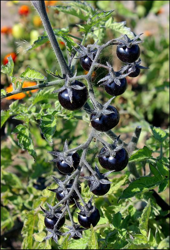 Касарги 3791 Tomato