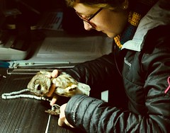 Saw-Whet Owl banding and measurements PA300011