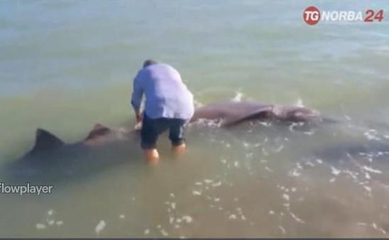 squalo capopiatto spiaggiato
