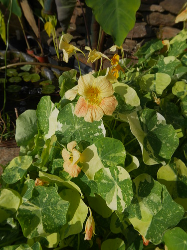 Tropaeolum majus - capucine des jardins 31042737178_b1ec431e07