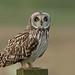 Short-eared Owl by MOZBOZ1