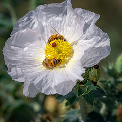 White Pricklypoppy (Argemone Polyanthemos)