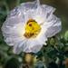 White Pricklypoppy (Argemone Polyanthemos) by @CarShowShooter