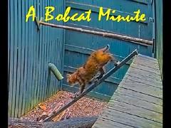 A Bobcat Minute