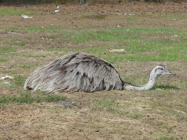 Nandu, Zoo Givskud