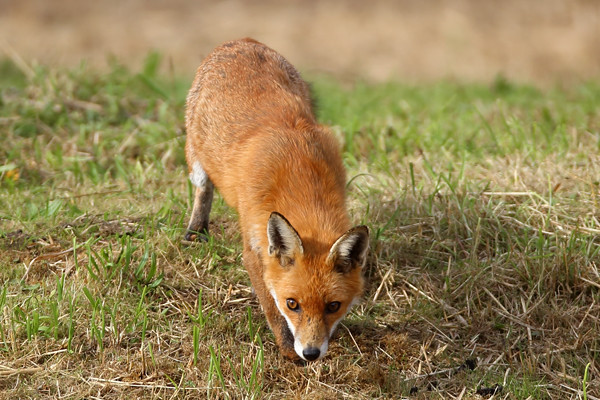 Red Fox, Canon EOS 6D, EF600mm f/4L IS USM