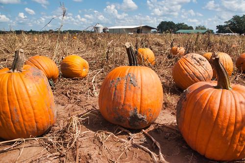 fisherbray usa unitedstates florida santarosacounty milton nikon d5000 hollandfarms peanuts farm flower blumen hollandtown pumpkin
