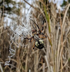 Yellow Garden Spider female (Argiope aurantia).