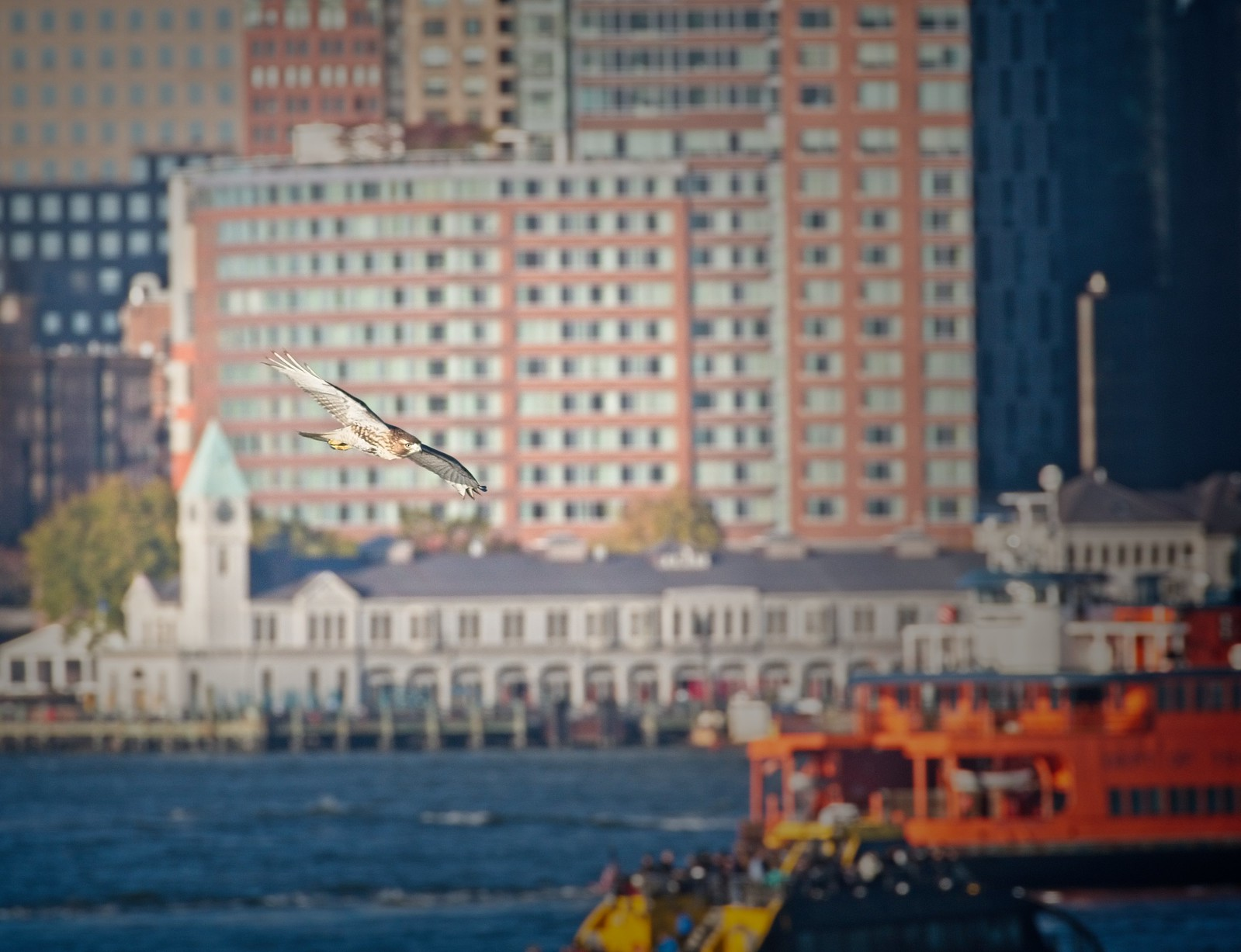 Red-tail flying past Pier A and Battery Park
