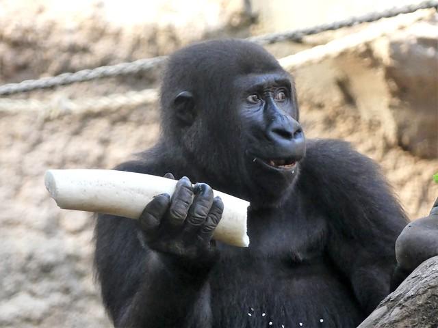 Gorilla Sawa, Zoo Frankfurt