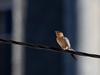 Lesser-striated swalow/Andorinha-dáurica (Cecropis daurica)