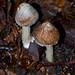 Fungus 18 Frosty Fibrecap - Inocybe maculata?