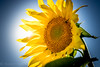Sun in the Sunflower ;-)