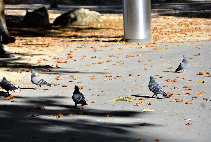 Pigeons 13.10 (1)