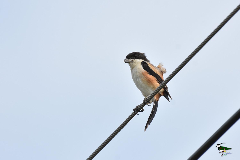 Long-tailed_Shrike_9516
