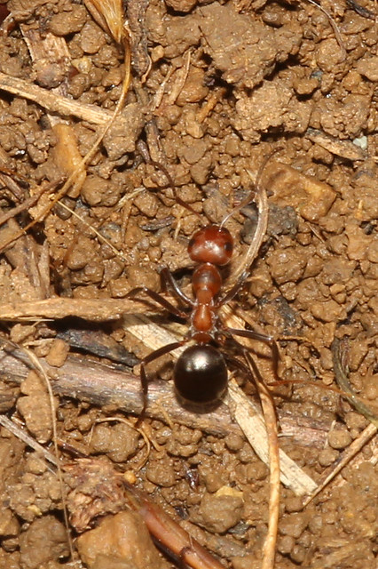Allegheny Mound Ant - Formica exsectoides - Adams County, Ohio, USA - November 4, 2018