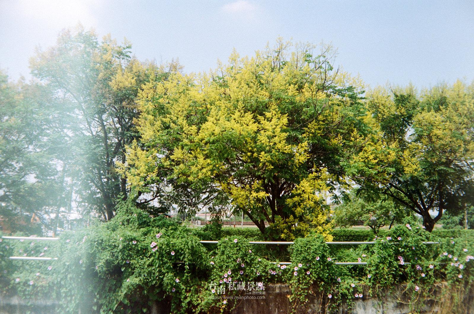 台南台灣欒樹25