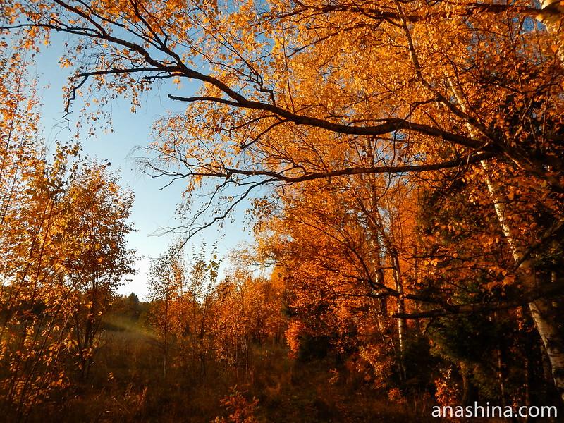 Под сенью янтарного леса