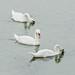 Mute Swan 'Cygnus olor'