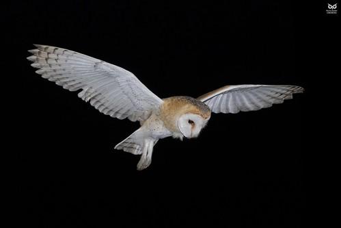 Coruja-das-torres, Barn Owl (Tyto alba) Vila Franca de Xira, Portugal - 2018.09.20 *xPLUG mount for TK35