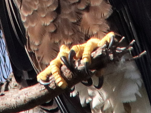 Bald Eagle female Jewel talons 05-20181007