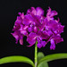 Cattleya Bactia