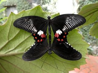 Papilio polytes - Mormon commun (FR) ♀&♂ - Common mormon (UK) - Kleiner mormone (DE)
