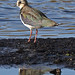 Lapwing in the mud